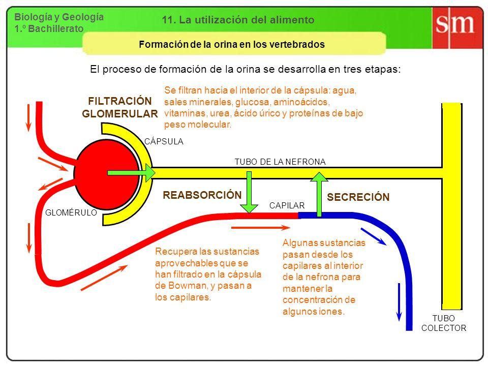 Biología y Geología 1.º Bachillerato 11. La utilización del alimento Formación de la orina en los vertebrados El proceso de formación de la orina se d