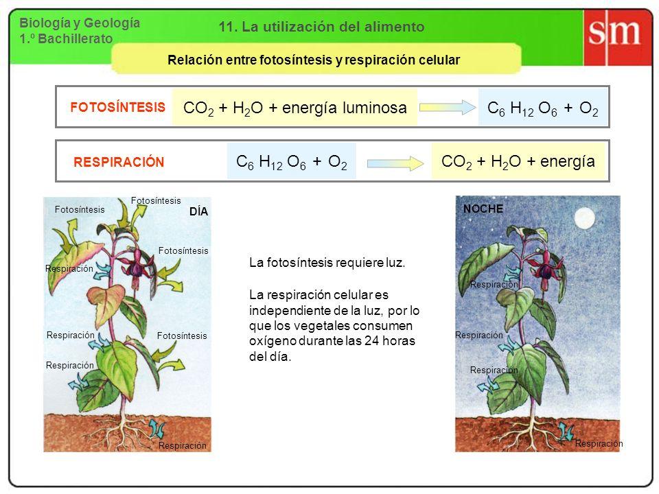 Biología y Geología 1.º Bachillerato 11. La utilización del alimento Relación entre fotosíntesis y respiración celular DÍA Fotosíntesis Respiración NO
