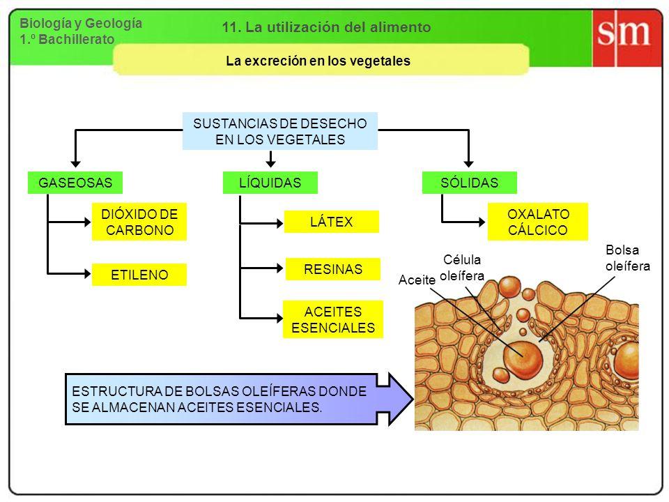 Biología y Geología 1.º Bachillerato 11. La utilización del alimento La excreción en los vegetales SUSTANCIAS DE DESECHO EN LOS VEGETALES GASEOSASLÍQU