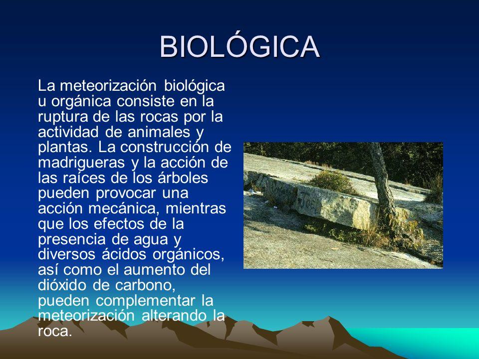BIOLÓGICA La meteorización biológica u orgánica consiste en la ruptura de las rocas por la actividad de animales y plantas. La construcción de madrigu