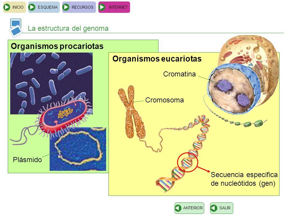 Organismos procariotas Organismos eucariotas INICIOESQUEMARECURSOSINTERNET La estructura del genoma SALIRANTERIOR Secuencia especifica de nucleótidos