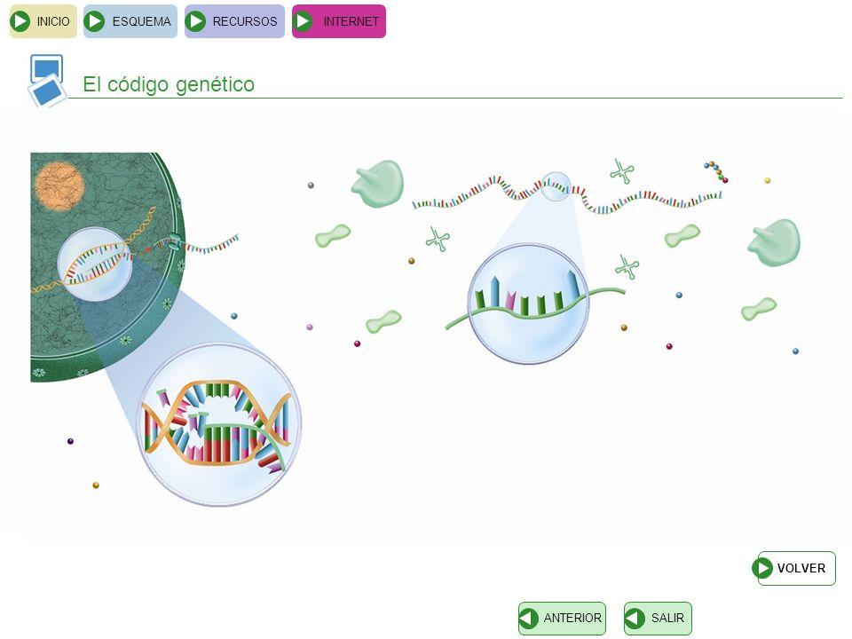 INICIOESQUEMARECURSOSINTERNET El código genético SALIRANTERIOR ARNm codón anticodón aminoácido La correspondencia entre los codones del ARNm y los ami