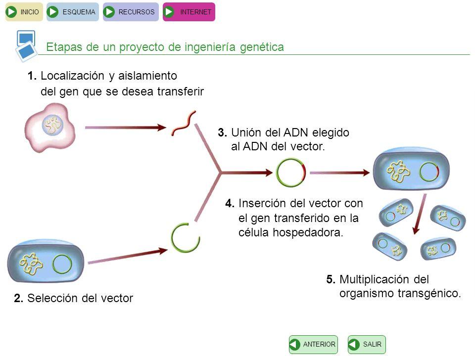 INICIOESQUEMARECURSOSINTERNET Etapas de un proyecto de ingeniería genética SALIRANTERIOR 1. Localización y aislamiento del gen que se desea transferir