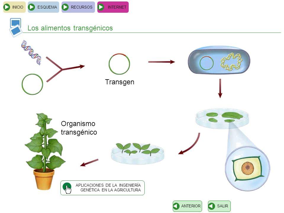 INICIOESQUEMARECURSOSINTERNET Los alimentos transgénicos SALIRANTERIOR Transgen Organismo transgénico APLICACIONES DE LA INGENIERÍA GENÉTICA EN LA AGR