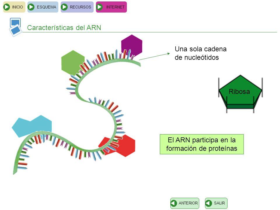 Copia información del AND y la transporta hasta los ribosomas ARN mensajero INICIOESQUEMARECURSOSINTERNET Tipos de ARN SALIRANTERIOR Se asocia a proteínas y forma los ribosomas ARN ribosomico Se une a aminoácidos para formar proteínas en los ribosomas ARN transferente ARNm ARNr ARNt