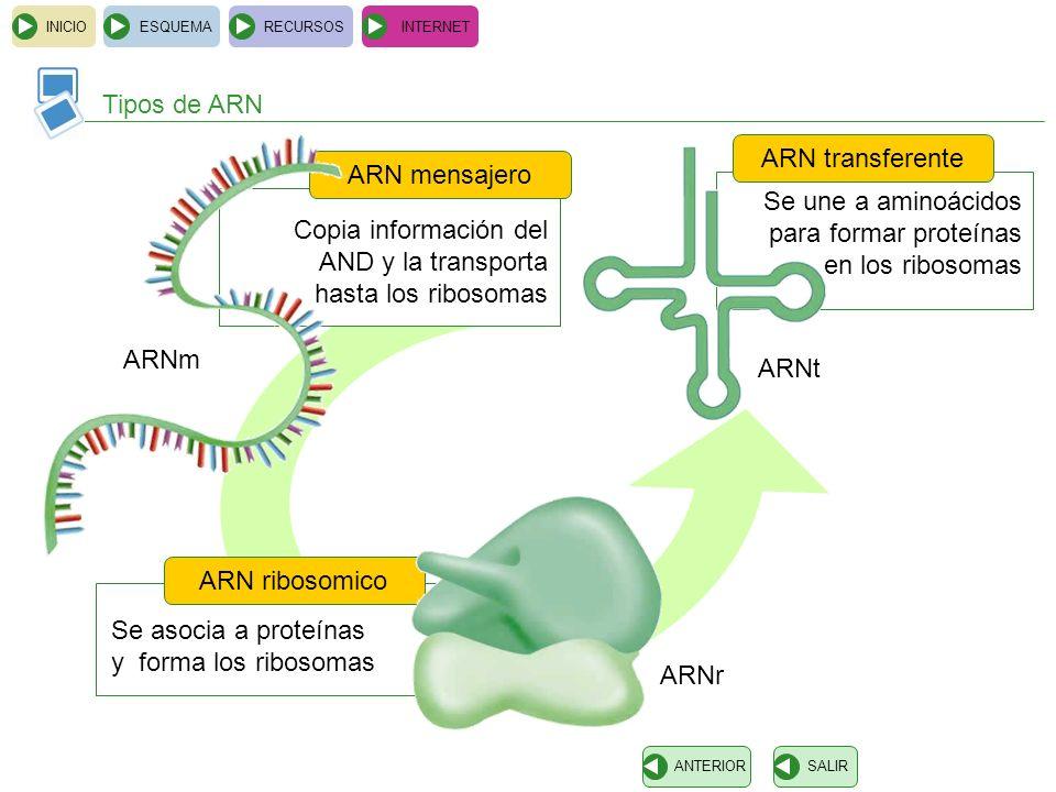 Copia información del AND y la transporta hasta los ribosomas ARN mensajero INICIOESQUEMARECURSOSINTERNET Tipos de ARN SALIRANTERIOR Se asocia a prote
