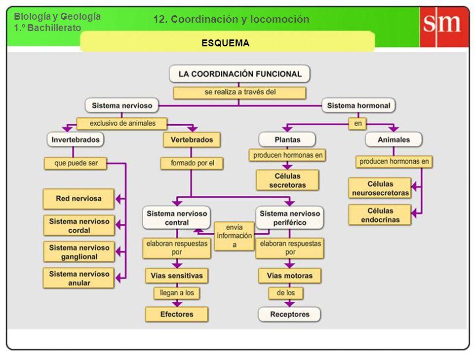 Biología y Geología 1.º Bachillerato 12. Coordinación y locomoción ESQUEMA