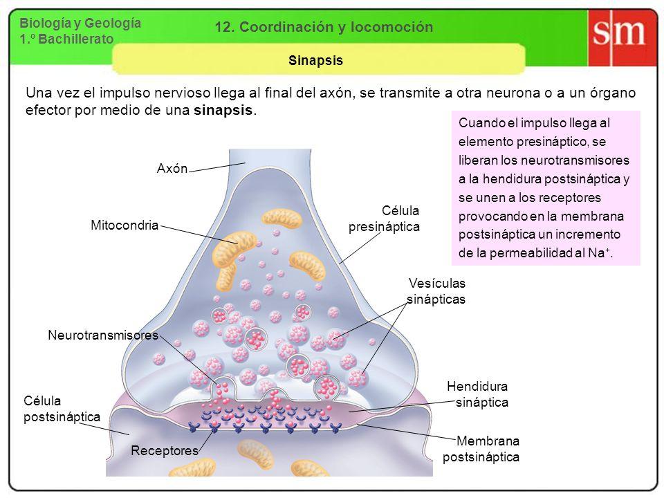 Biología y Geología 1.º Bachillerato 12. Coordinación y locomoción Sinapsis Una vez el impulso nervioso llega al final del axón, se transmite a otra n