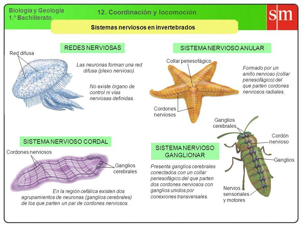 Biología y Geología 1.º Bachillerato 12. Coordinación y locomoción Sistemas nerviosos en invertebrados REDES NERVIOSAS SISTEMA NERVIOSO ANULAR SISTEMA