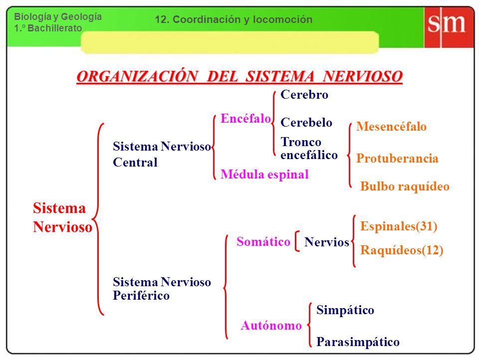 ORGANIZACIÓN DEL SISTEMA NERVIOSO Sistema Nervioso Sistema Nervioso Central Encéfalo Cerebro Cerebelo Tronco encefálico Protuberancia Mesencéfalo Bulb