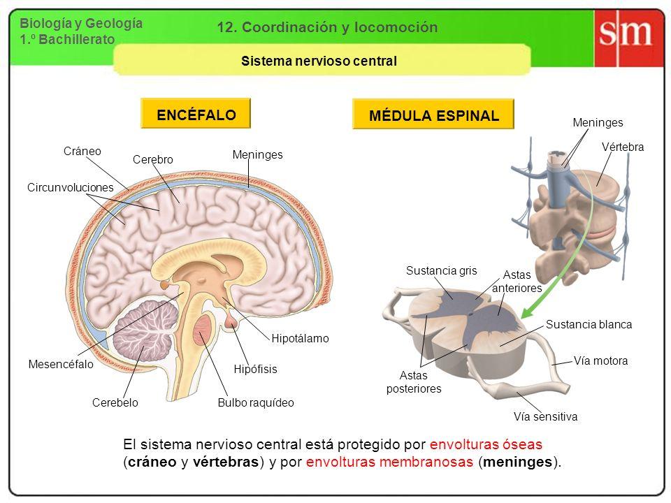 Biología y Geología 1.º Bachillerato 12. Coordinación y locomoción Sistema nervioso central ENCÉFALO Hipotálamo Hipófisis Bulbo raquídeo Cerebelo Mese