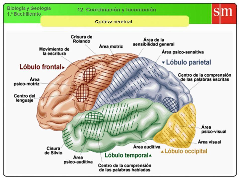 Biología y Geología 1.º Bachillerato 12. Coordinación y locomoción Corteza cerebral