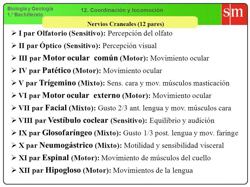 Nervios Craneales (12 pares) I par Olfatorio (Sensitivo): Percepción del olfato II par Óptico (Sensitivo): Percepción visual III par Motor ocular comú