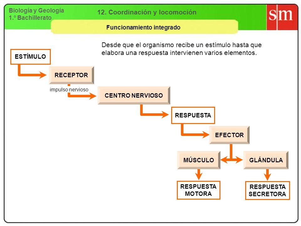 Biología y Geología 1.º Bachillerato 12. Coordinación y locomoción Funcionamiento integrado Desde que el organismo recibe un estímulo hasta que elabor