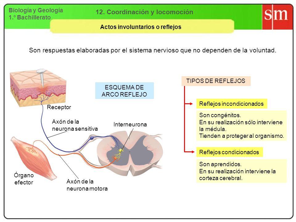 Biología y Geología 1.º Bachillerato 12. Coordinación y locomoción Actos involuntarios o reflejos Son respuestas elaboradas por el sistema nervioso qu