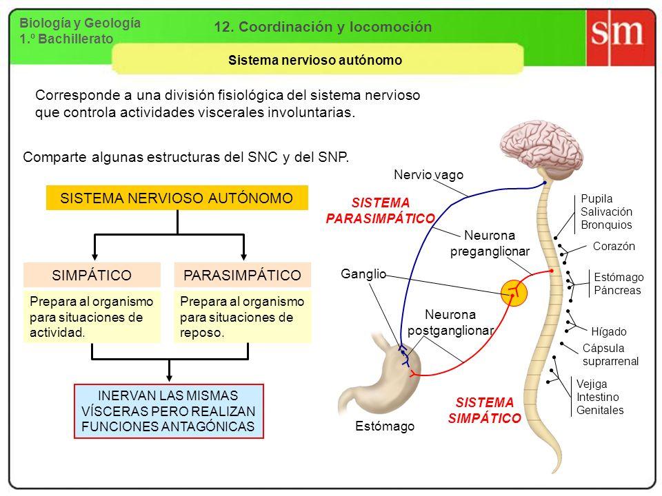 Biología y Geología 1.º Bachillerato 12. Coordinación y locomoción Sistema nervioso autónomo Pupila Salivación Bronquios Corazón Estómago Páncreas Híg