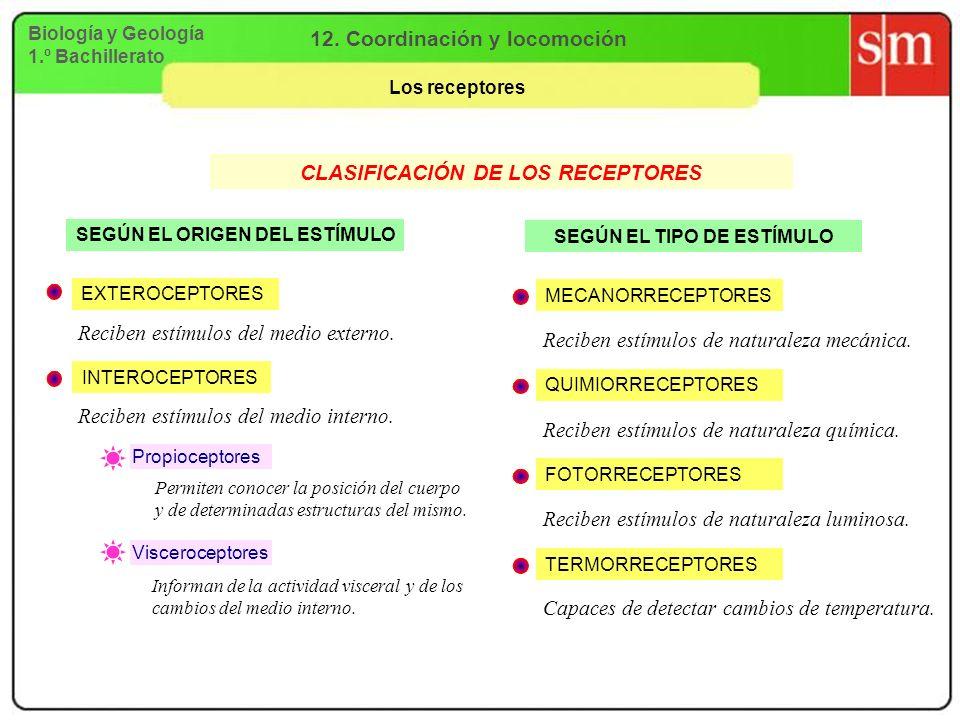 Biología y Geología 1.º Bachillerato 12. Coordinación y locomoción Los receptores CLASIFICACIÓN DE LOS RECEPTORES SEGÚN EL ORIGEN DEL ESTÍMULO SEGÚN E