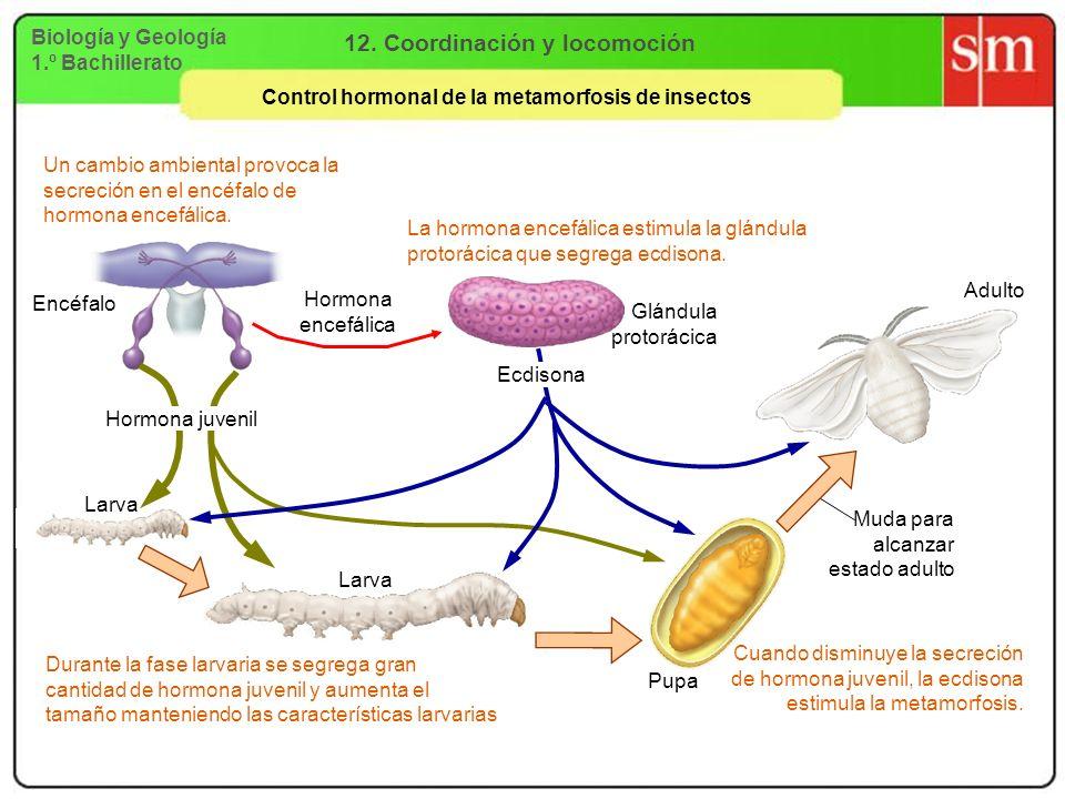 Biología y Geología 1.º Bachillerato 12. Coordinación y locomoción Control hormonal de la metamorfosis de insectos Un cambio ambiental provoca la secr