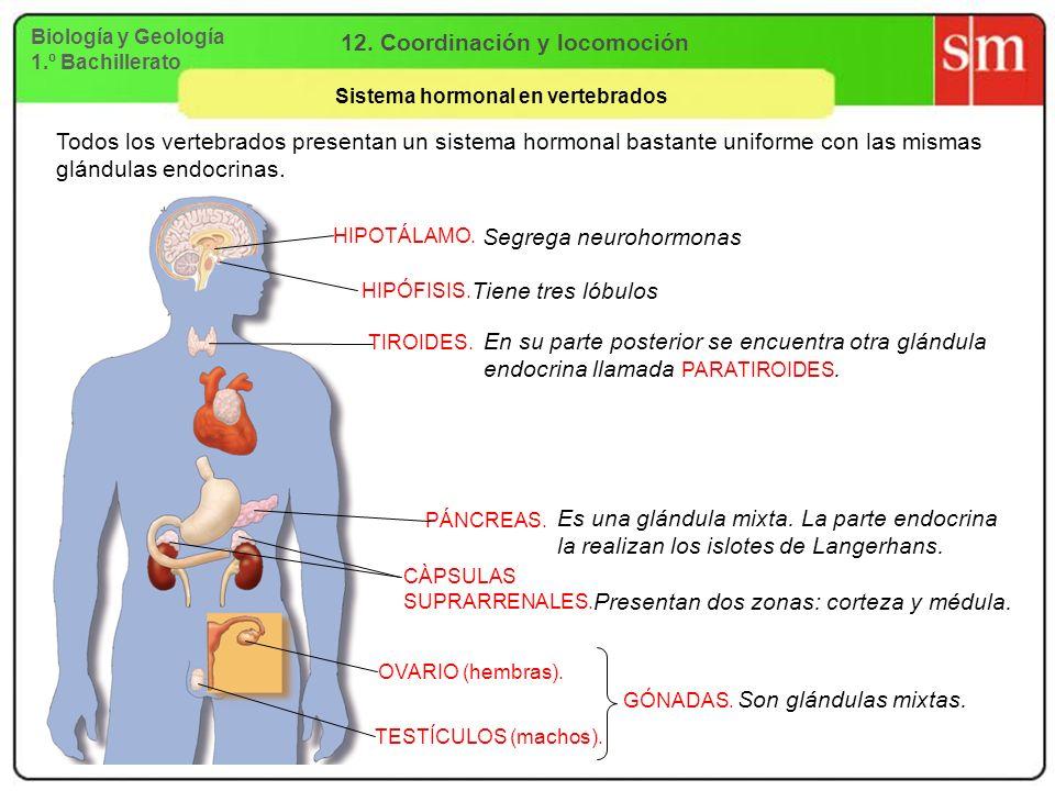 Biología y Geología 1.º Bachillerato 12. Coordinación y locomoción Sistema hormonal en vertebrados HIPOTÁLAMO. HIPÓFISIS. TIROIDES. PÁNCREAS. CÀPSULAS