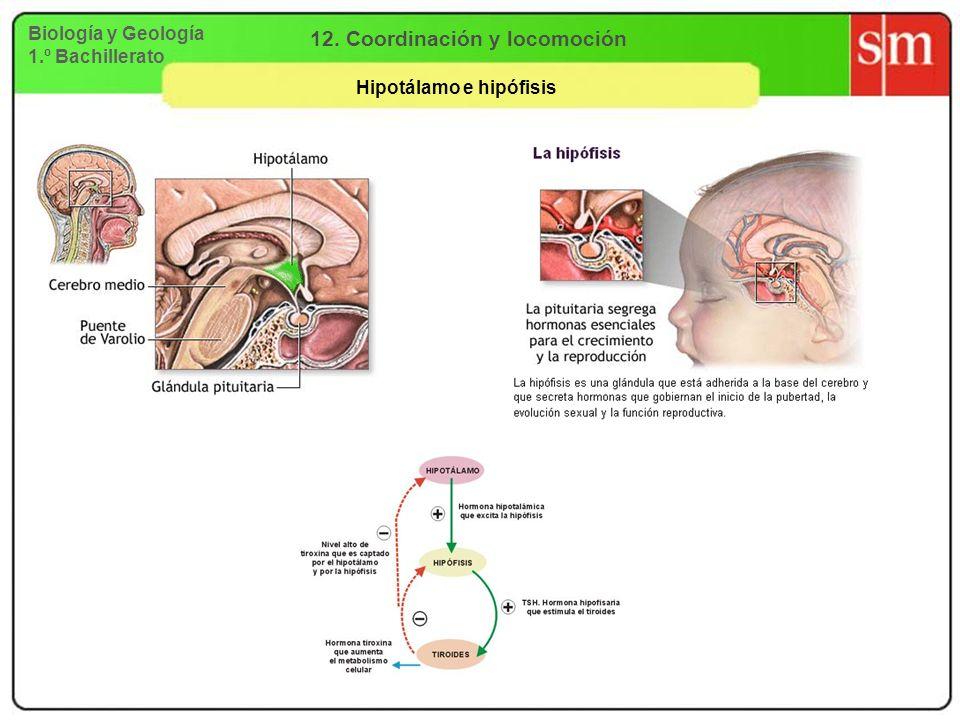 Biología y Geología 1.º Bachillerato 12. Coordinación y locomoción Hipotálamo e hipófisis