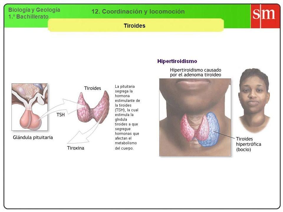 Biología y Geología 1.º Bachillerato 12. Coordinación y locomoción Tiroides