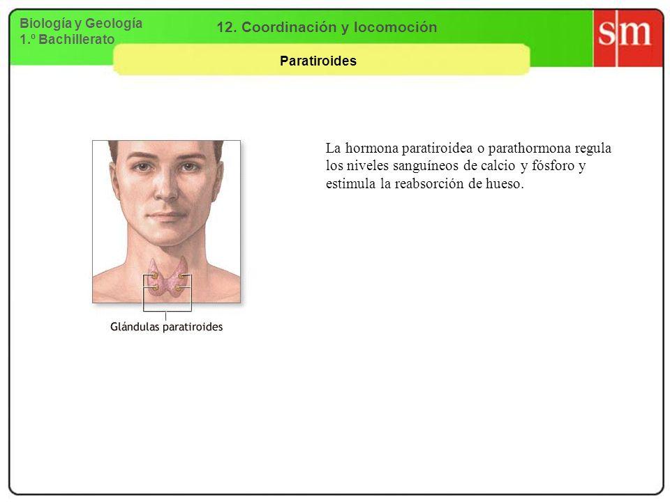 Biología y Geología 1.º Bachillerato 12. Coordinación y locomoción Paratiroides La hormona paratiroidea o parathormona regula los niveles sanguíneos d