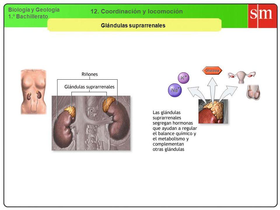Biología y Geología 1.º Bachillerato 12. Coordinación y locomoción Glándulas suprarrenales