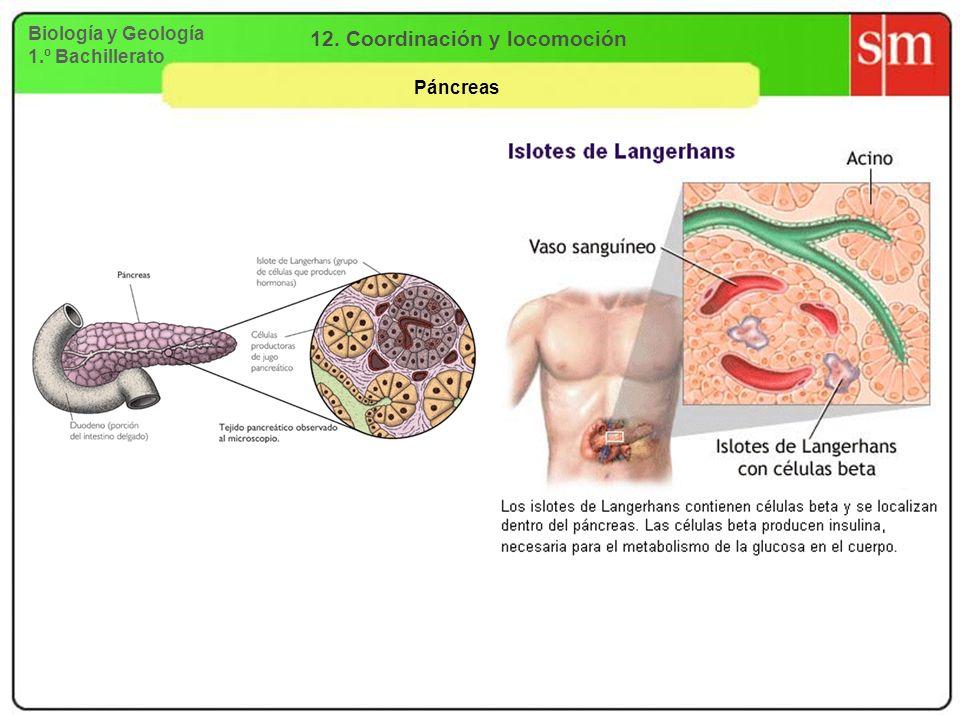 Biología y Geología 1.º Bachillerato 12. Coordinación y locomoción Páncreas