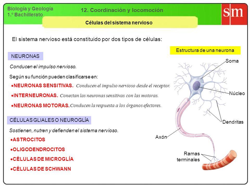 Biología y Geología 1.º Bachillerato 12. Coordinación y locomoción Células del sistema nervioso El sistema nervioso está constituido por dos tipos de