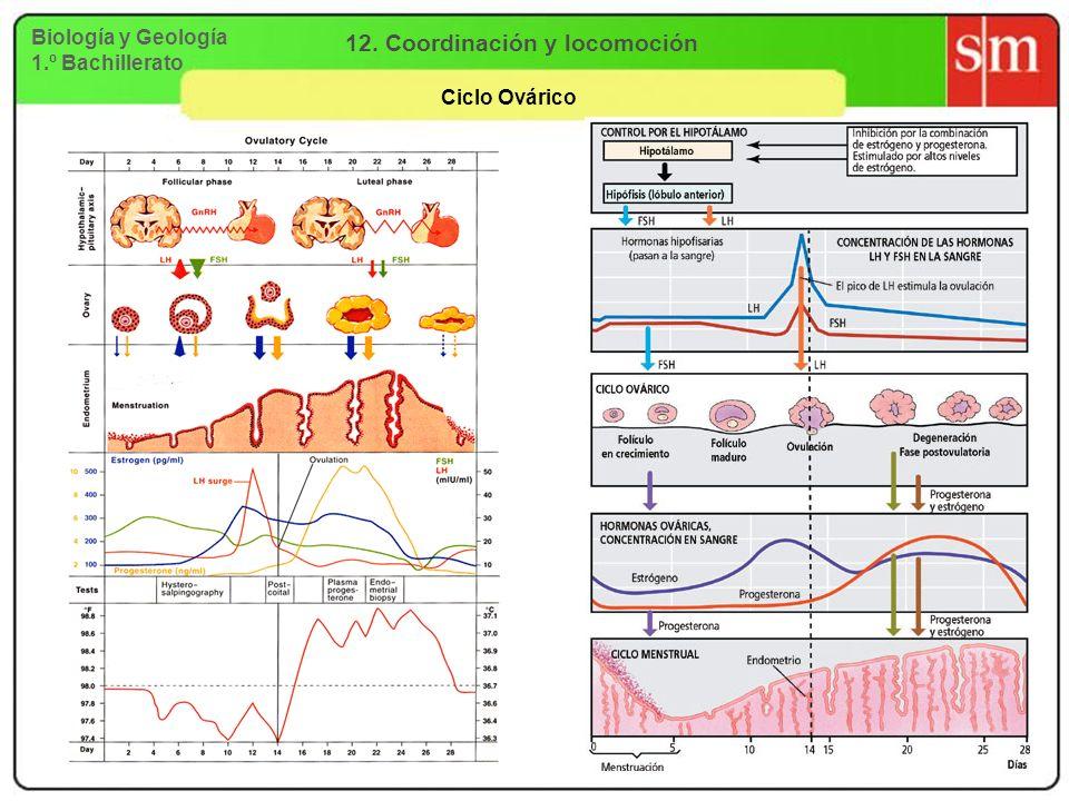 Biología y Geología 1.º Bachillerato 12. Coordinación y locomoción Ciclo Ovárico