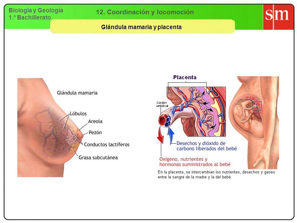 Biología y Geología 1.º Bachillerato 12. Coordinación y locomoción Glándula mamaria y placenta