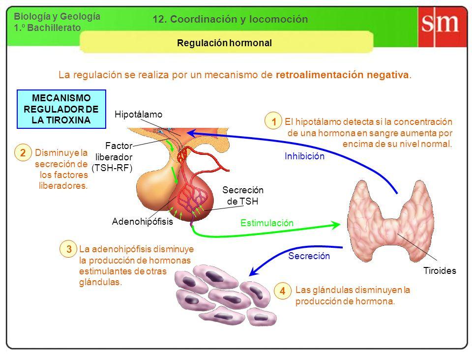 Biología y Geología 1.º Bachillerato 12. Coordinación y locomoción Regulación hormonal Factor liberador (TSH-RF) Adenohipófisis Secreción de TSH La re