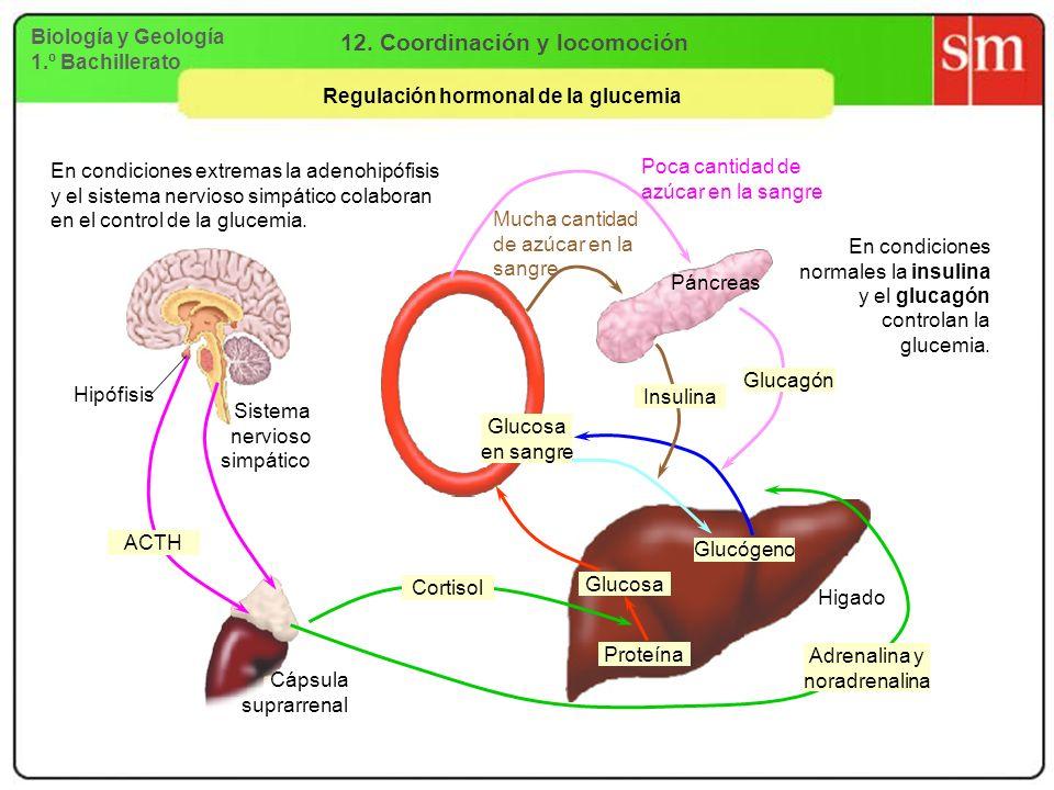 Biología y Geología 1.º Bachillerato 12. Coordinación y locomoción Regulación hormonal de la glucemia Higado Hipófisis Glucógeno Glucosa Proteína Cáps