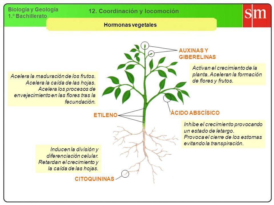 Biología y Geología 1.º Bachillerato 12. Coordinación y locomoción Hormonas vegetales AUXINAS Y GIBERELINAS Activan el crecimiento de la planta. Acele