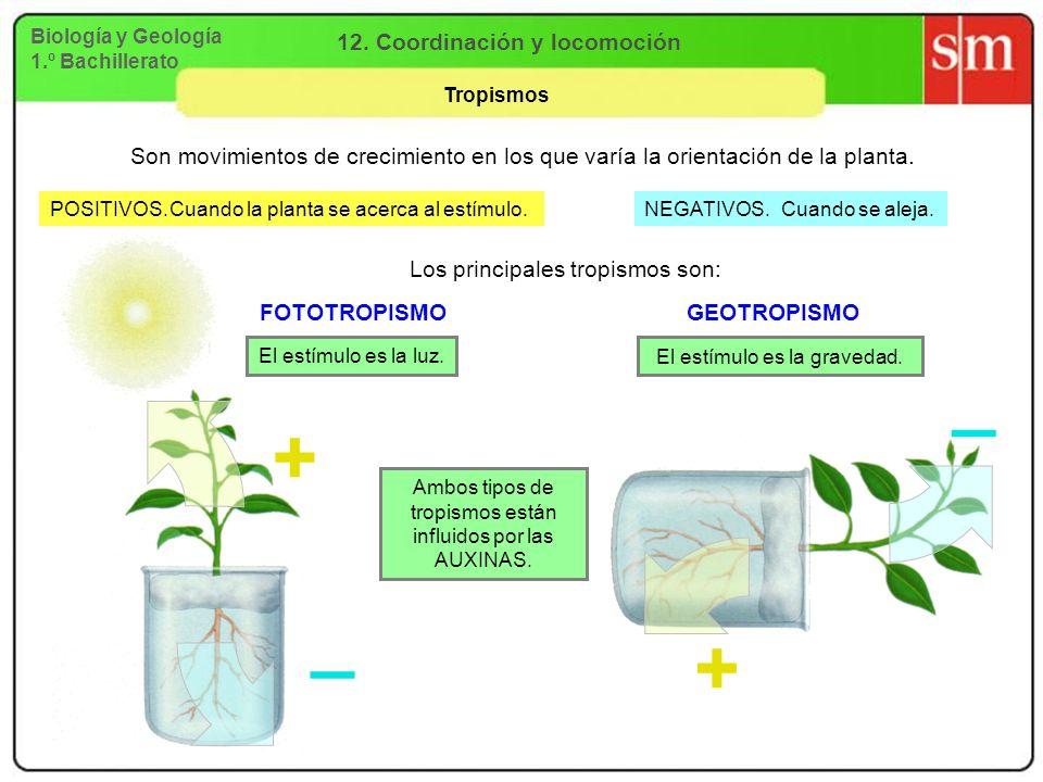Biología y Geología 1.º Bachillerato 12. Coordinación y locomoción Tropismos POSITIVOS. Son movimientos de crecimiento en los que varía la orientación