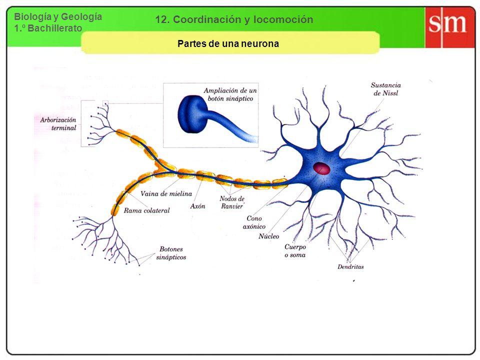Biología y Geología 1.º Bachillerato 12. Coordinación y locomoción Partes de una neurona