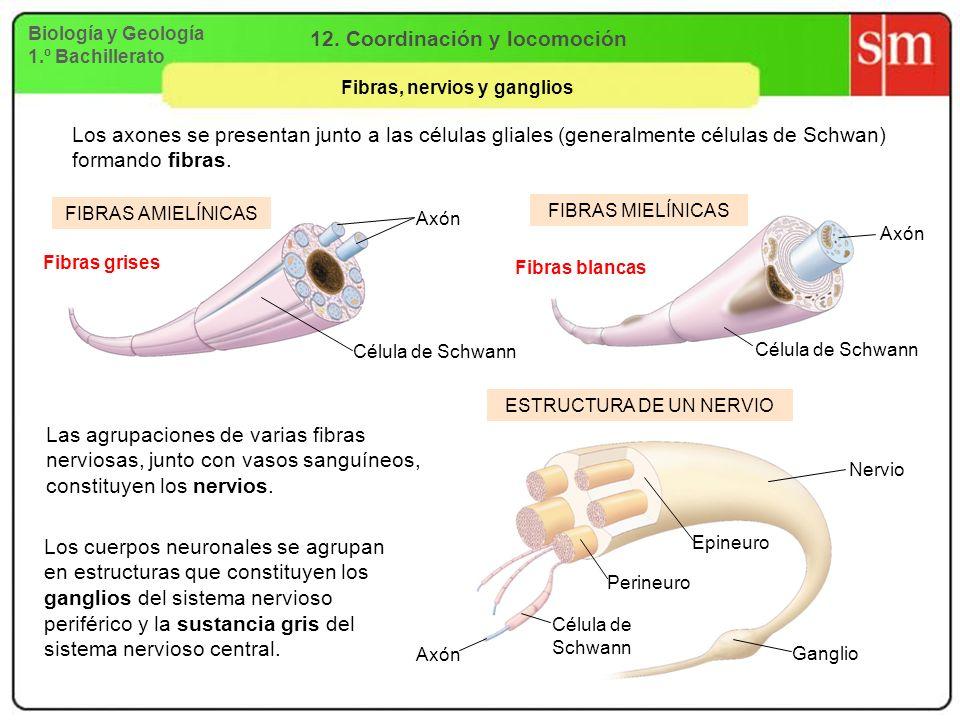 Biología y Geología 1.º Bachillerato 12. Coordinación y locomoción Fibras, nervios y ganglios Los axones se presentan junto a las células gliales (gen