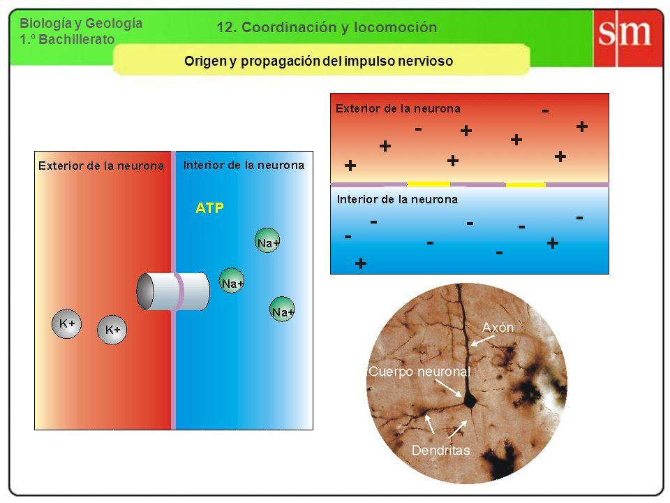 Biología y Geología 1.º Bachillerato 12. Coordinación y locomoción Origen y propagación del impulso nervioso