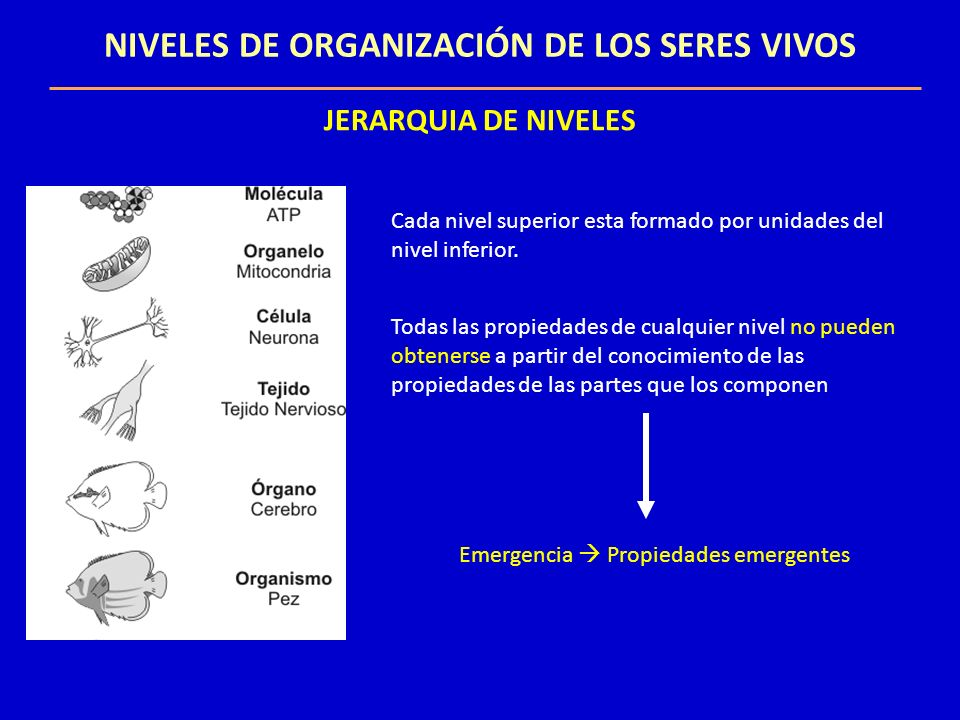ORGANISMOS UNICELULARES Y PLURICELULARES UNICELULARES / PLURICELULARES Todas funciones vitales en una célula Reproducción Vida independiente Colonia Conjunto de células provenientes del zigoto Se especializan en una función Diferenciación