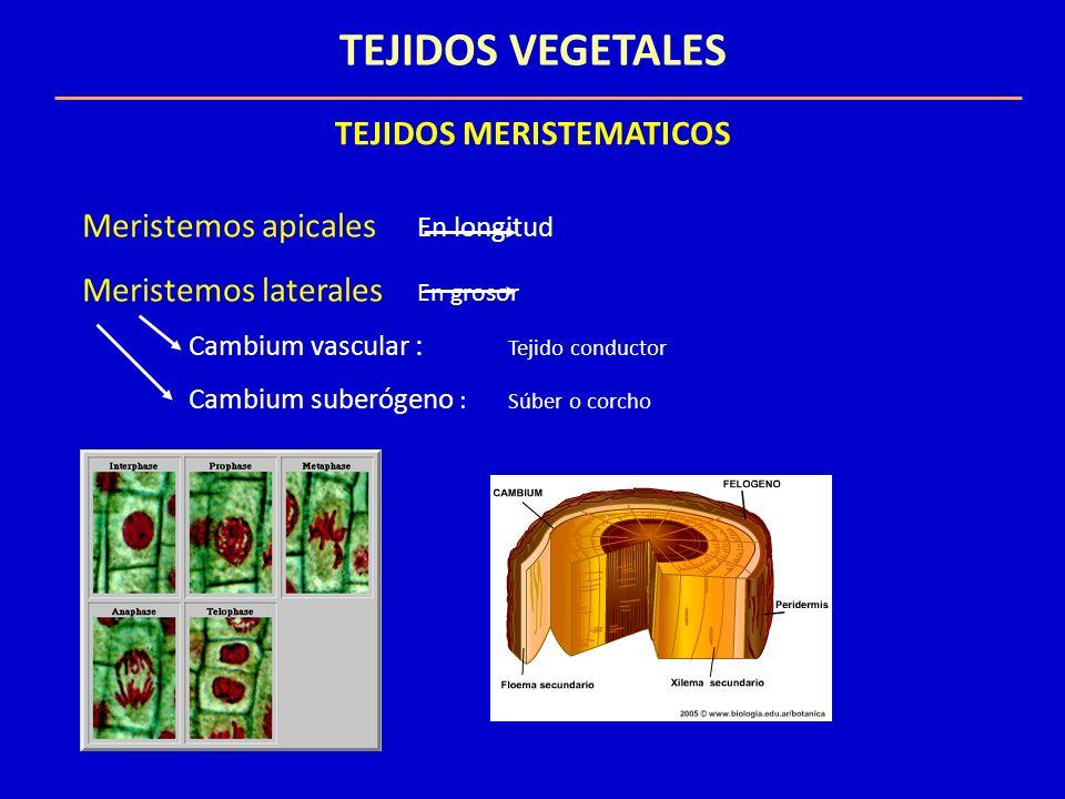 TEJIDOS VEGETALES TEJIDOS DEFINITIVOS SISTEMA FUNDAMENTAL Parenquima: fotosíntesis, almacenamiento de reservas o la secreción Colénquima: Soporte de órganos jóvenes en crecimiento Esclerénquima : Refuerzo y soporte de las partes que han dejado de crecer.