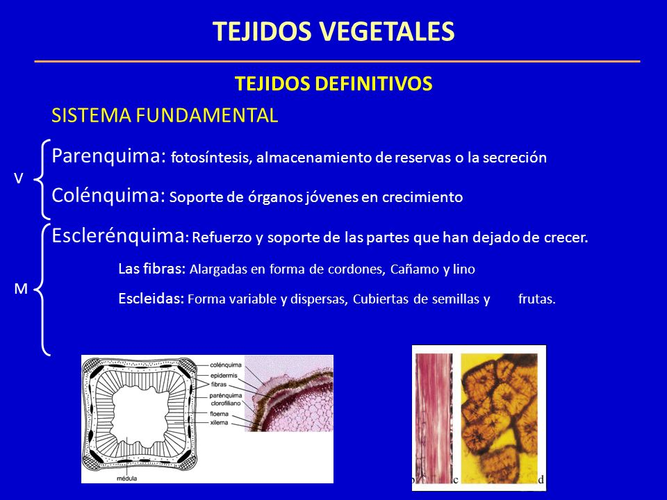TEJIDOS VEGETALES TEJIDOS DEFINITIVOS SISTEMA VASCULAR XILEMA : Savia bruta Raíz Hojas o tejidos fotosinteticos Traqueas o elementos del vaso (M) Tubos continuos FLOEMA: Savia elaboradaHojas o tejidos fotosintéticos Toda la planta Elementos del tubo criboso (V) Áreas cribosas