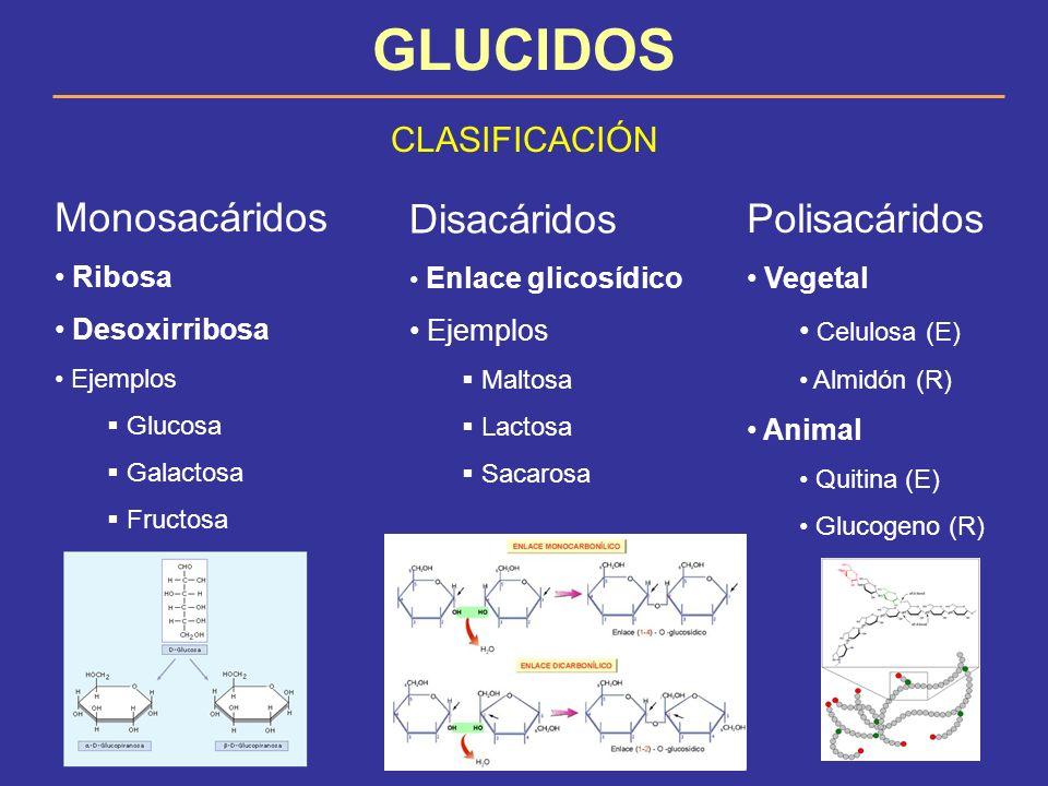 GLUCIDOS CLASIFICACIÓN Monosacáridos Ribosa Desoxirribosa Ejemplos Glucosa Galactosa Fructosa Disacáridos Enlace glicosídico Ejemplos Maltosa Lactosa
