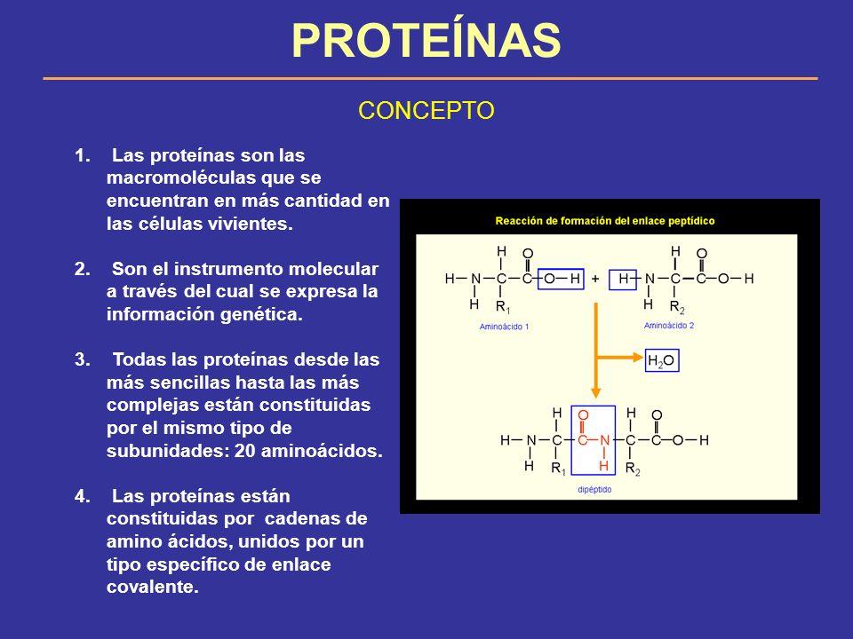 PROTEÍNAS CONCEPTO 1. Las proteínas son las macromoléculas que se encuentran en más cantidad en las células vivientes. 2. Son el instrumento molecular