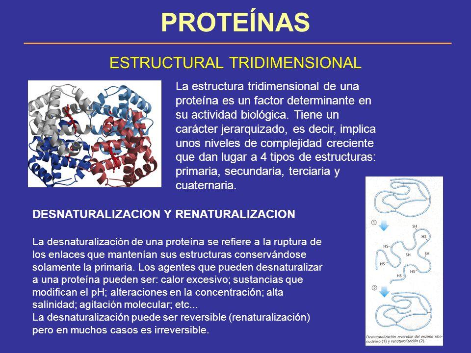 PROTEÍNAS ESTRUCTURAL TRIDIMENSIONAL La estructura tridimensional de una proteína es un factor determinante en su actividad biológica. Tiene un caráct