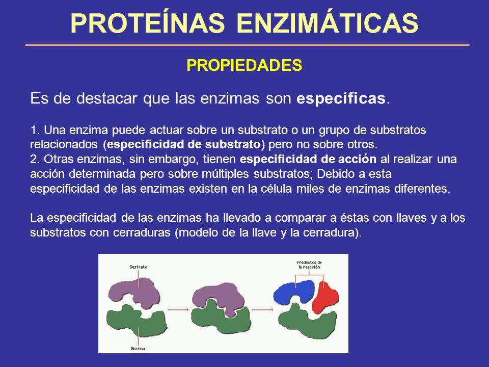 PROTEÍNAS ENZIMÁTICAS PROPIEDADES Es de destacar que las enzimas son específicas. 1. Una enzima puede actuar sobre un substrato o un grupo de substrat