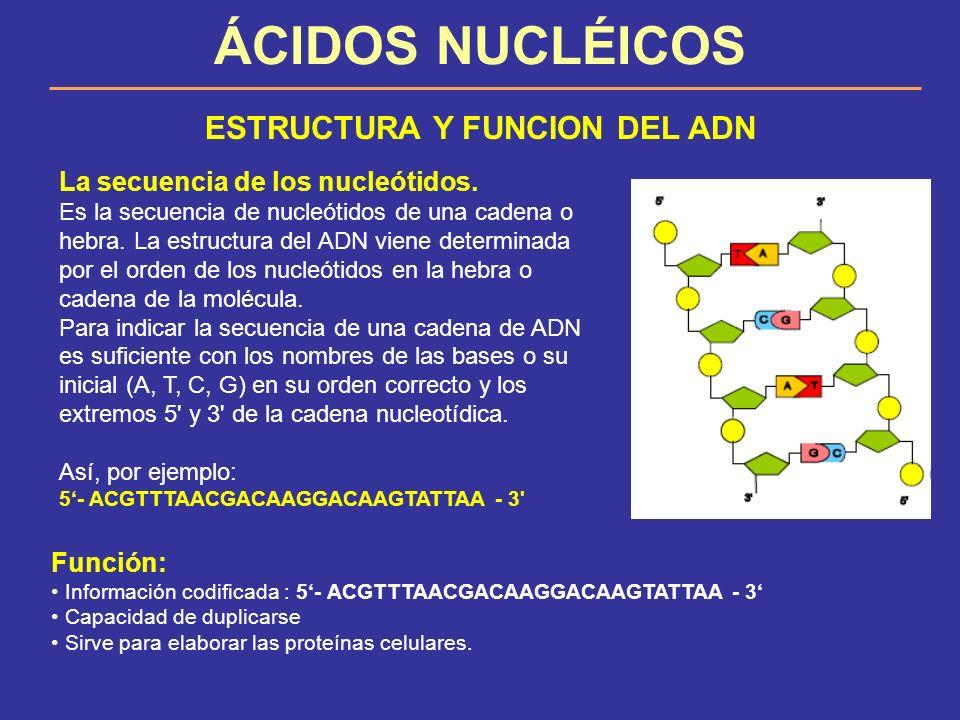 ÁCIDOS NUCLÉICOS ESTRUCTURA Y FUNCION DEL ADN La secuencia de los nucleótidos. Es la secuencia de nucleótidos de una cadena o hebra. La estructura del
