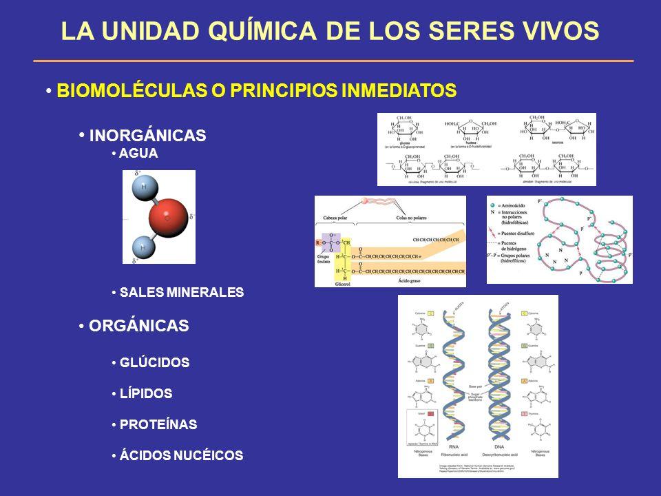 LA UNIDAD QUÍMICA DE LOS SERES VIVOS BIOMOLÉCULAS O PRINCIPIOS INMEDIATOS INORGÁNICAS AGUA SALES MINERALES ORGÁNICAS GLÚCIDOS LÍPIDOS PROTEÍNAS ÁCIDOS