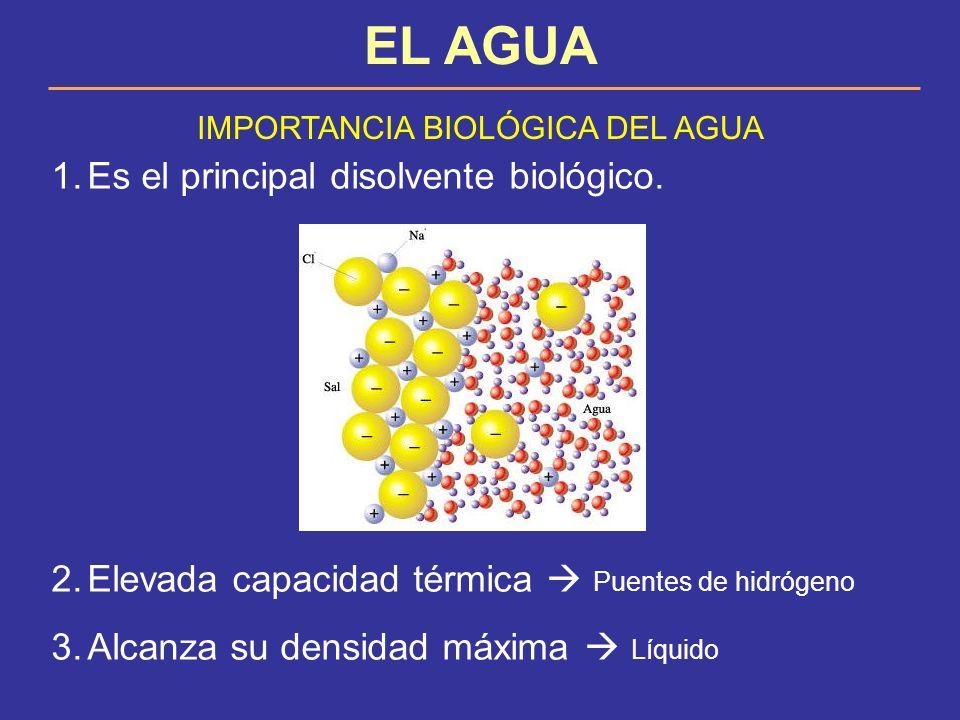 EL AGUA IMPORTANCIA BIOLÓGICA DEL AGUA 1.Es el principal disolvente biológico. 2.Elevada capacidad térmica Puentes de hidrógeno 3.Alcanza su densidad