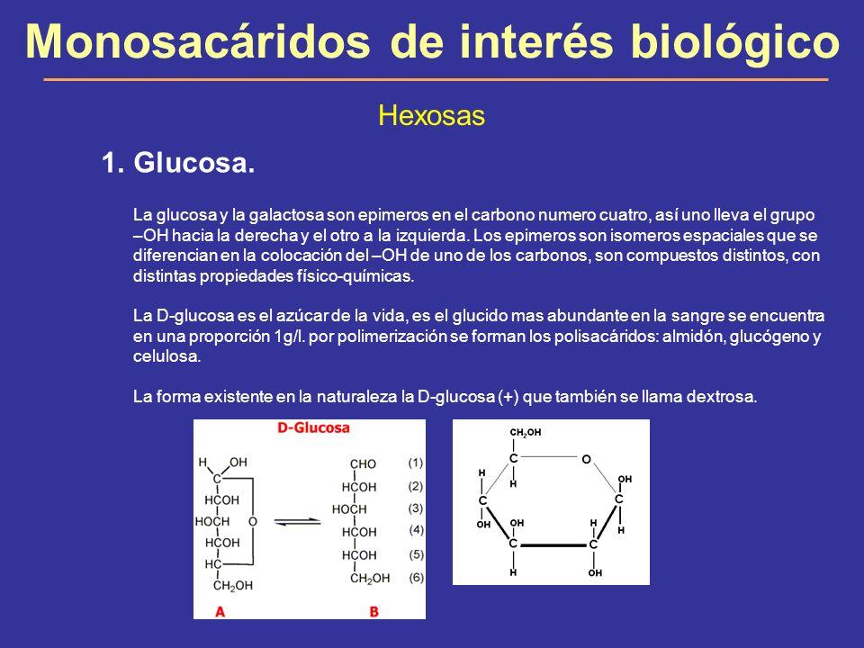 Monosacáridos de interés biológico Hexosas 1.Glucosa. La glucosa y la galactosa son epimeros en el carbono numero cuatro, así uno lleva el grupo –OH h