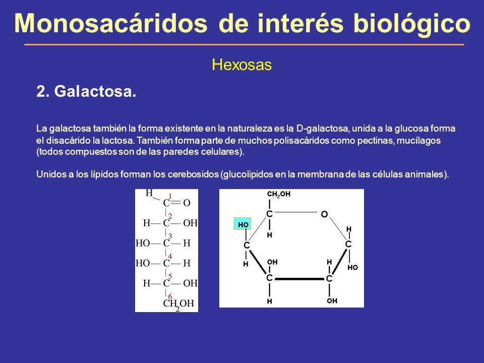 Monosacáridos de interés biológico Hexosas 2. Galactosa. La galactosa también la forma existente en la naturaleza es la D-galactosa, unida a la glucos